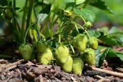 Immature Strawberries Stock Image