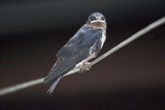Immature Swallow perched on line. Fledgling swallow perched on a line after first few flights in early summer Stock Photos