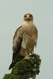 Immature tawny eagle Royalty Free Stock Photo