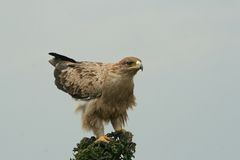 Immature tawny eagle Stock Images