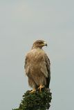 Immature tawny eagle Stock Image
