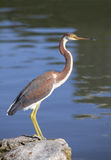 Immature Tri Colored Heron on a Rock Royalty Free Stock Image