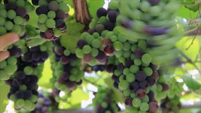 Immature vine grapes. Inspected farmer stock footage