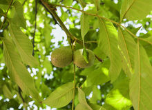 Immature walnuts on walnut tree in garden Stock Image