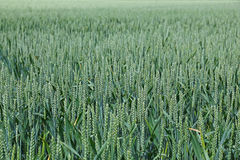 Immature wheat. Field with immature wheat Triticum aestivum in Brittany, France Royalty Free Stock Photo