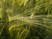 Immature wheat spike Stock Image