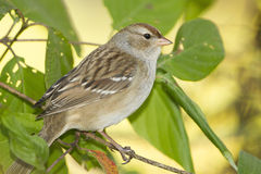 Immature White-crowned Sparrow Royalty Free Stock Photography