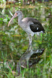 Immature White Ibis Royalty Free Stock Photo