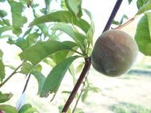 Immature white peach royalty free stock photos