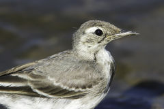 An immature of White Wagtail close-up / Motacilla alba. An immature of White Wagtail / Motacilla alba Stock Image