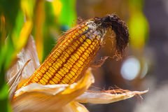 Immature, wizened, diseased and moldy corn cob on the field. Close-up. Collect corn crop Royalty Free Stock Photography