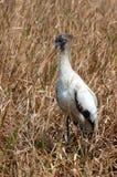 Immature Wood Stork Royalty Free Stock Image