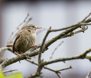 Immature Wren Stock Image