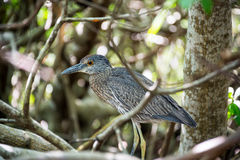 Immature Yellow Crowned Night Heron Royalty Free Stock Photography