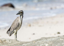 Immature Yellow-crowned Night-Heron (Nyctanassa violacea) on the Royalty Free Stock Image