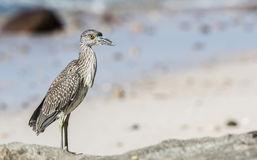 Immature Yellow-crowned Night-Heron (Nyctanassa violacea) on the Royalty Free Stock Photos