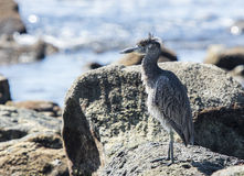 Immature Yellow-crowned Night-Heron (Nyctanassa violacea) on the Stock Image