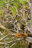 Immature Yellow-Crowned Night Heron Stock Images