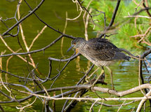 Immature Yellow-Crowned Night Heron Royalty Free Stock Image