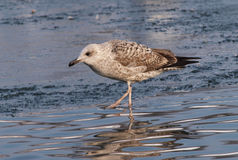 Immature Yellow-legged Gull, Larus michahellis Royalty Free Stock Photo