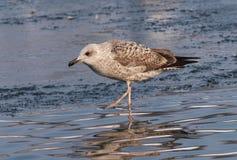 Immature Yellow-legged Gull, Larus michahellis royalty free stock photo