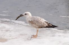 Immature Yellow-legged Gull (Larus michahellis) Royalty Free Stock Image