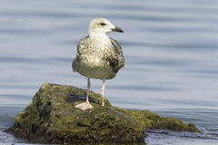 An immature of Yellow-legged Gull (Larus michahellis) Stock Photo