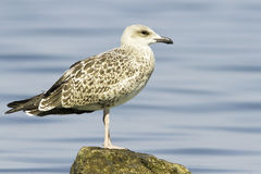 An immature of Yellow-legged Gull (Larus michahellis) Royalty Free Stock Photo
