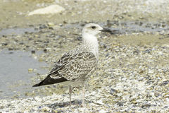 An immature of yellow-legged gull resting on the ground  / Larus cachinnans Stock Photos