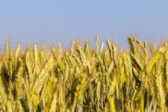 Immature yellowing wheat Stock Photos