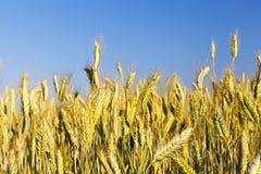 Immature yellowing wheat Royalty Free Stock Photography