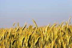 Immature yellowing wheat Royalty Free Stock Photo