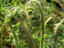 Immature young green fern bowing Stock Photos