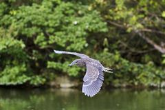 Immatures Black-crowned Night Heron,Nycticorax nycticorax Royalty Free Stock Photos