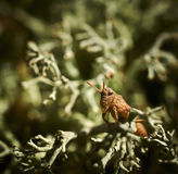 Immatures grasshopper sitting on branches lichen Stock Images