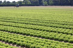 Immense field cultivated with green lettuce. On the plain in summer Stock Photo
