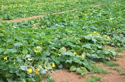 Immense field of zucchini with organic cultivation technique. And blossoming flowers Royalty Free Stock Photo