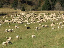 Immense flock of sheep lambs and goats grazing  in the mountain. Flock of sheep lambs and goats grazing  in the mountains in autumn Stock Images