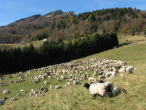 Immense flock of sheep lambs and goats grazing. Flock of sheep lambs and goats grazing  in the mountains in autumn Stock Photos
