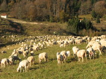 Immense flock of sheep lambs and goats grazing. In the mountains in autumn Stock Photos