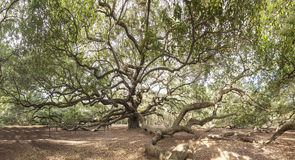 Immense live oak tree. With spreading branches Stock Photography