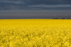Immense rapeseed field Royalty Free Stock Images