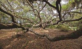 Immense spreading oak. Immense spreading live oak in south carolina Stock Image