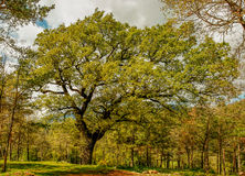 The immense tree rises above all others Stock Photography