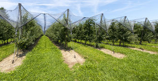 Immenstaad - Lake Constance, Baden-Wuerttemberg, Germany, Europe. Hail net closure covering an Apple tree plantation near Immenstaad on Lake Constance Royalty Free Stock Photo