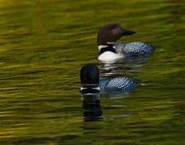 Immer comum do Gavia da natação dos pares do mergulhão-do-norte Fotos de Stock