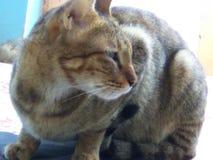 Immer erstaunliche Katze Lizenzfreies Stockfoto