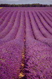 Immer währendes Lavendelfeld Lizenzfreie Stockfotografie