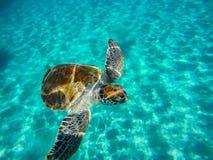 Immergendosi con le tartarughe fotografia stock