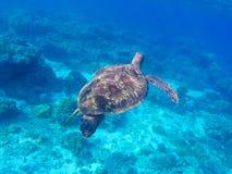 Immergendosi e tuffarsi con la tartaruga di mare Nuoto della tartaruga di mare verde nell'oceano Fotografia Stock